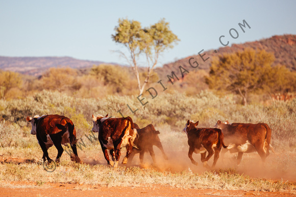 Grazing Cows in the Australian Outback